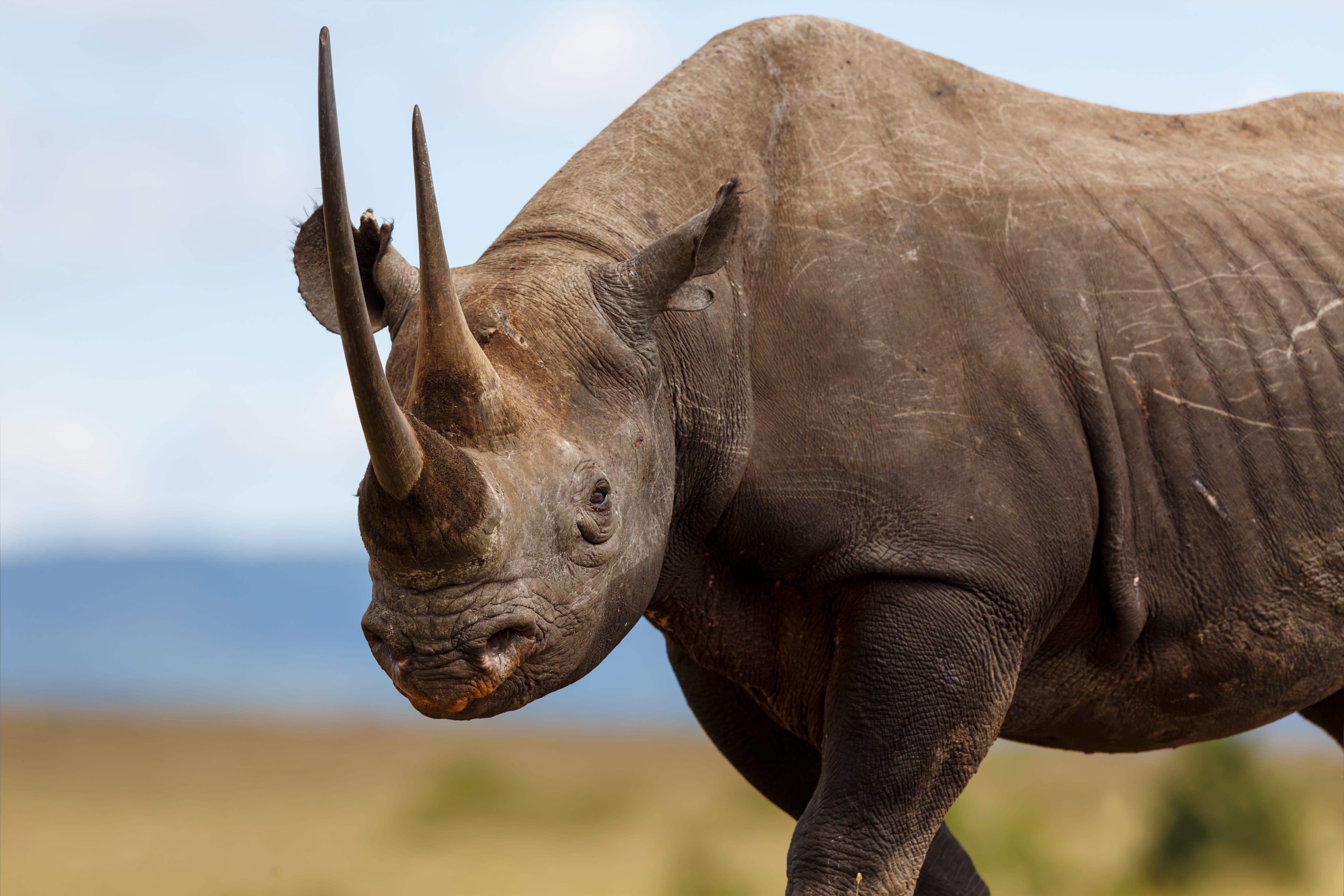 Photo of Le Muséum de Bordeaux fait un appel aux dons pour accueillir un rhinocéros noir