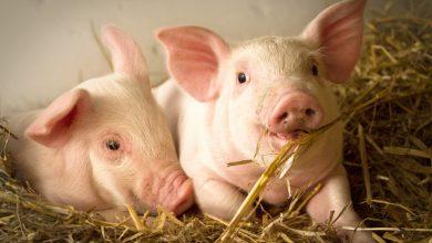 Photo of Ce week-end, les animaux de la ferme viennent se poser à Bordeaux