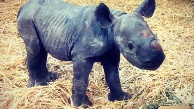 Photo of Naissance d'un bébé rhinocéros au zoo du bassin d'Arcachon