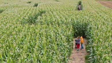 Photo of Le premier labyrinthe de maïs géant en Gironde ouvre bientôt ses portes
